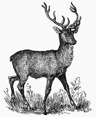 Stag (Illustration)