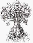 Celeriac (Illustration)
