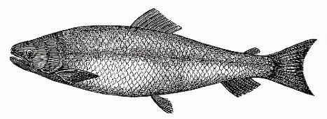 Salmon (Illustration)