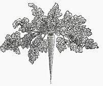 Hamburg parsley (Illustration)
