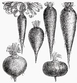 Various root vegetables (Illustration)