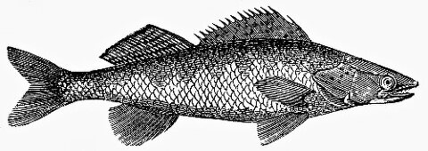 Pike-perch (Illustration)