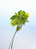 Lettuce and herbs on a fork