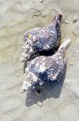 Two Live Conch on the Beach