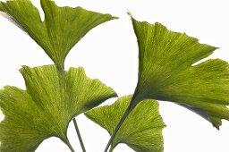 Ginkgo leaves