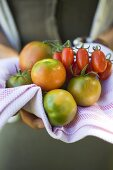 Hands holding different types of tomatoes on tea towel
