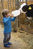 Small boy feeding calf with milk from a bottle
