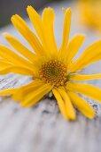 Arnica flower (close-up)
