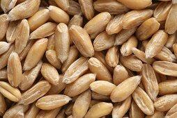 Spelt grains (full-frame)