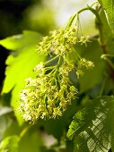 Maple branch with flowers
