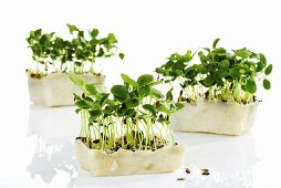 Tahoon Cress from the Himalayas