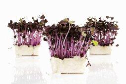 Sakura Cress in pots, close-up