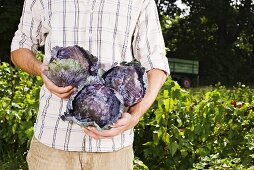 Man holding freshly picked red cabbages in garden