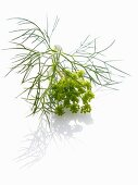 Dill and dill flowers