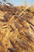 Dark emmer wheat (ears in a field)