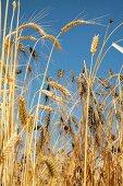 A field of emmer wheat