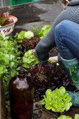 A woman harvesting lettuce
