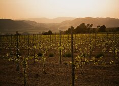 A vineyard by sunset
