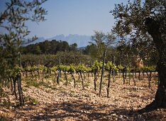 Vines and olive trees in a vineyard (Spain)