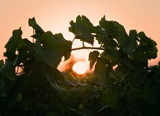 A vineyard by sunset (Spain)