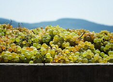 Fresh grapes in a wooden vat (Spain)