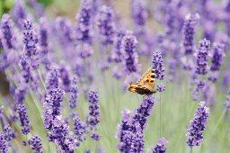 Tortoiseshell butterfly on flowering lavender