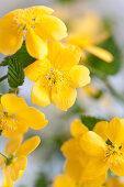 Flowering kerria japonica