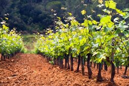 Terroir, Clos d'Agon winery, Calonge, Spain