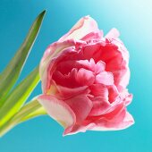 A pink tulip