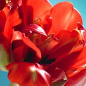 A red tulip bloom