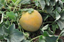 Cantaloupe Growing in the Garden