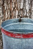 Collecting Sap from Maple Tree in Galvanized Bucket
