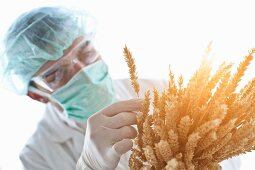 A scientist checking ears of wheat
