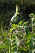 Cabbage thistle (Cirsium oleraceum)