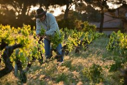 A winegrower breaking out young shoots in the early morning a the le Pic des Combettes winery