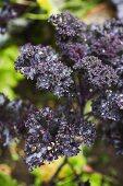 Red-leaved organic cabbage (Brassica oleracea, var. sabellica Redbor)