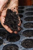 Planting nasturtiums: filling seedling trays with compost