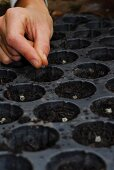 Chard being planted: seeds being placed in the seed compost in the seed tray