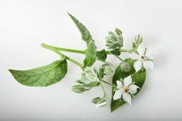 Borage with white flowers (Borago Officinalis Alba)