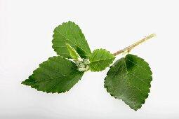 Heart-leaf sida or country mallow (Sida cordifolia)