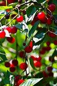 Sour cherries on branch