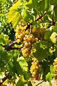 Pignoletto grapes