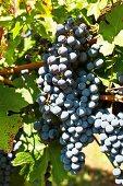Sangiovese grapes in sunlight