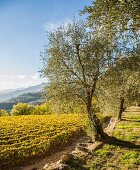 The view from the olive grove over the vineyard toward the open Ligurian landscape