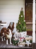 Dog next to potted fir tree & Christmas presents on veranda
