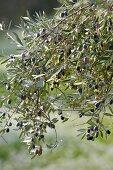 Olives on the tree (Tunisia)