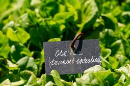 Sorrel in the garden with label (digestive)