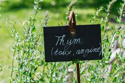 Fresh thyme in the garden with sign (natural remedy for coughs and sore throat)
