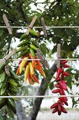 Chilli peppers hung up to dry in Calabria
