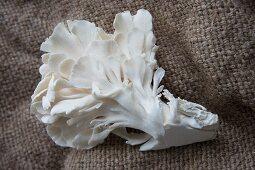 An oyster mushroom on jute